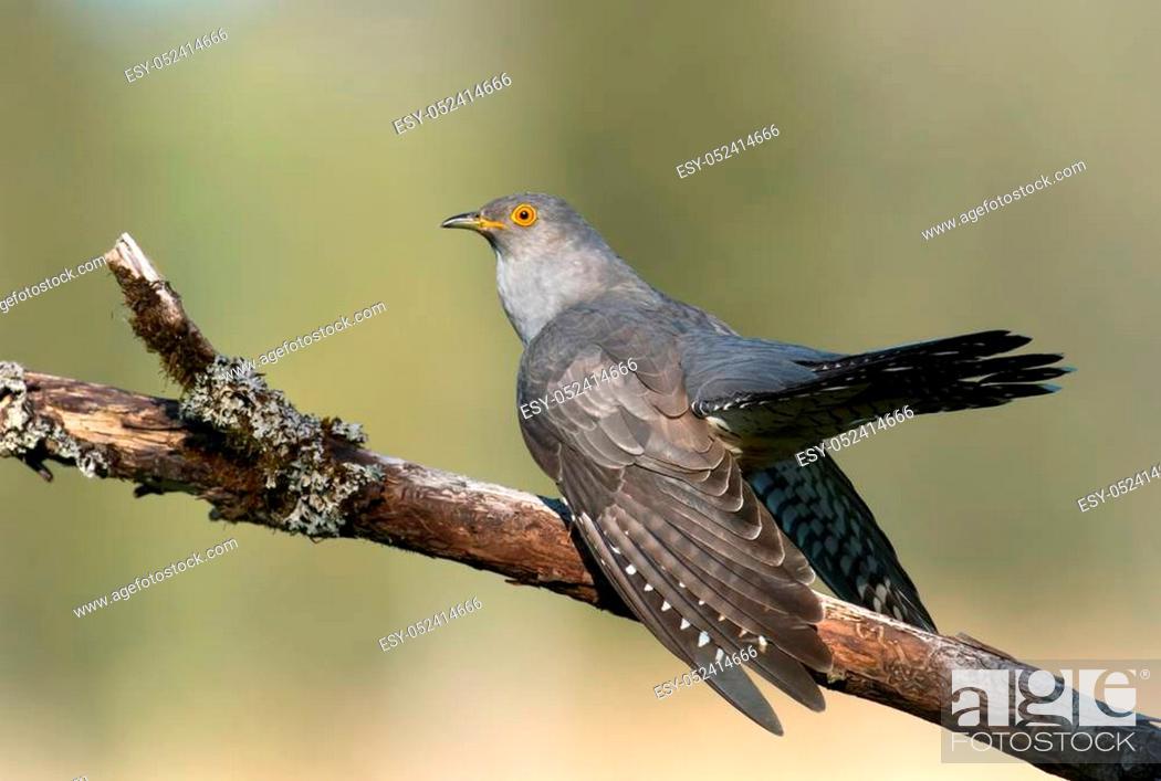 Stock Photo: Common cuckoo (Cuculus canorus).