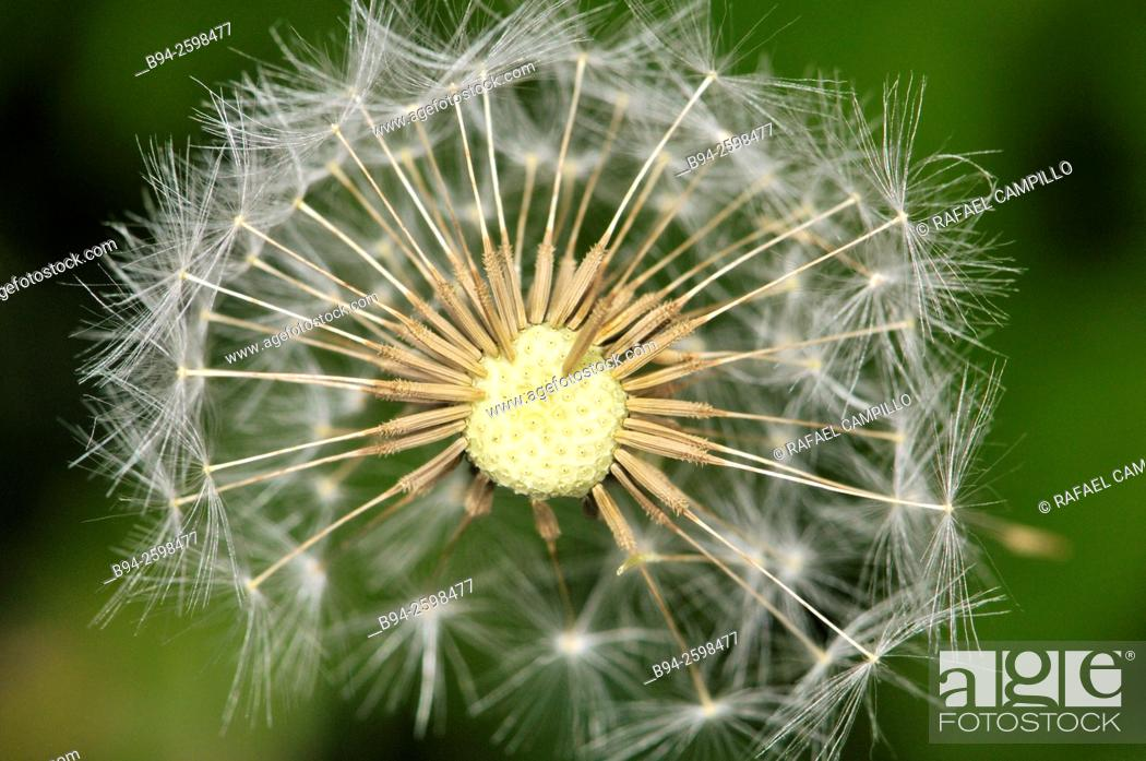 Stock Photo: Ripe fruits. Taraxacum officinale, the common dandelion, often simply called 'dandelion', is a flowering herbaceous perennial plant of the family Asteraceae.