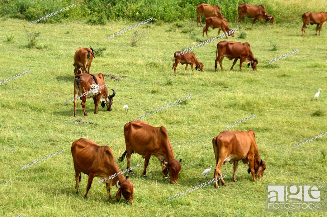 Stock Photo: India. Cows and bulls are grazing on a lush grass field.