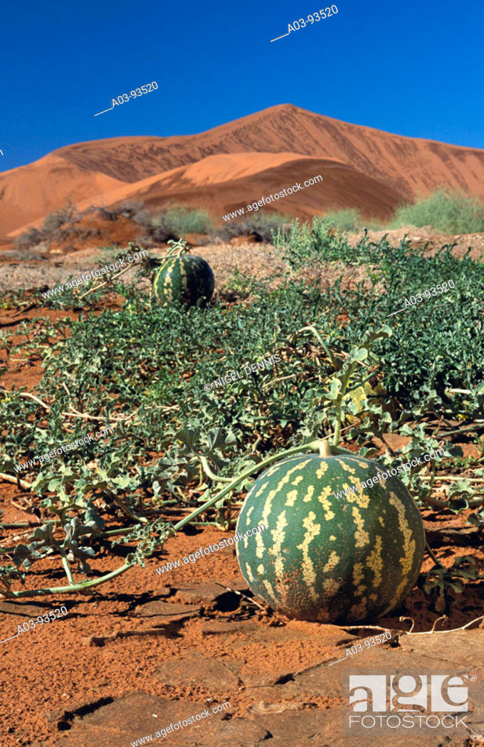 Stock Photo: Namib Tsamma (Citrullus ecirrhosus), Namib desert. Namib-Naukluft National Park, Namibia.