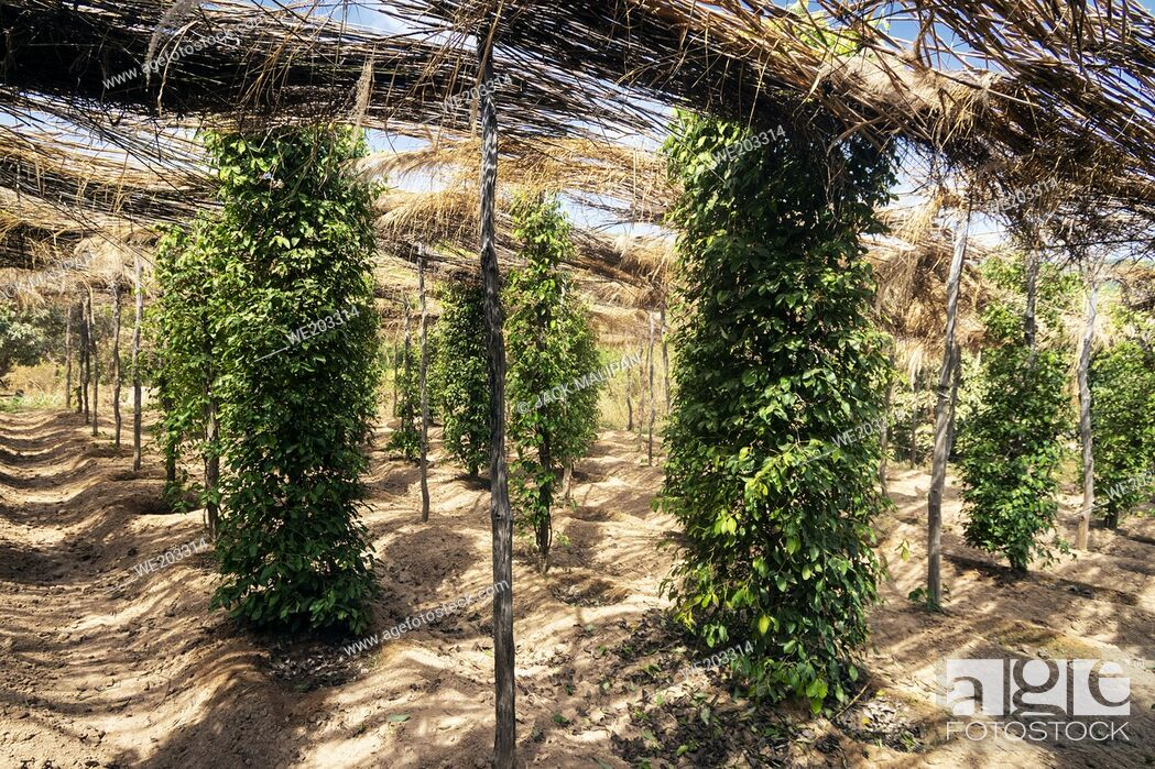 Stock Photo: peppercorn vines growing in organic pepper farm in kampot province cambodia.