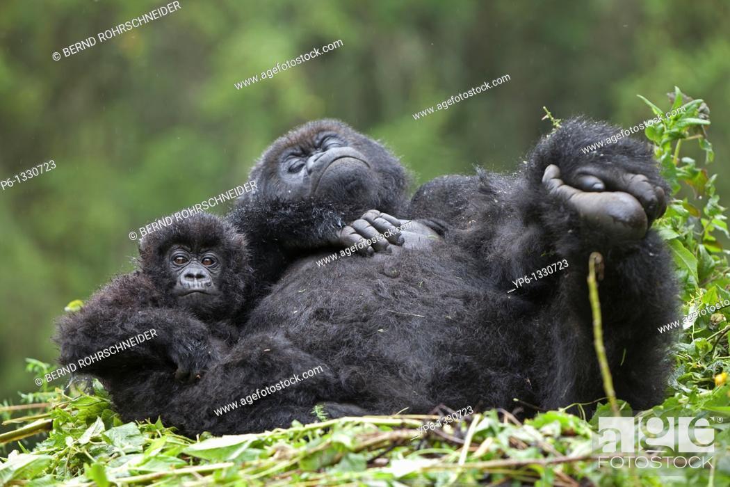 Stock Photo: Mountain Gorillas, Gorilla beringei beringei, female with young on nest, Volcanoes National Park, Rwanda.