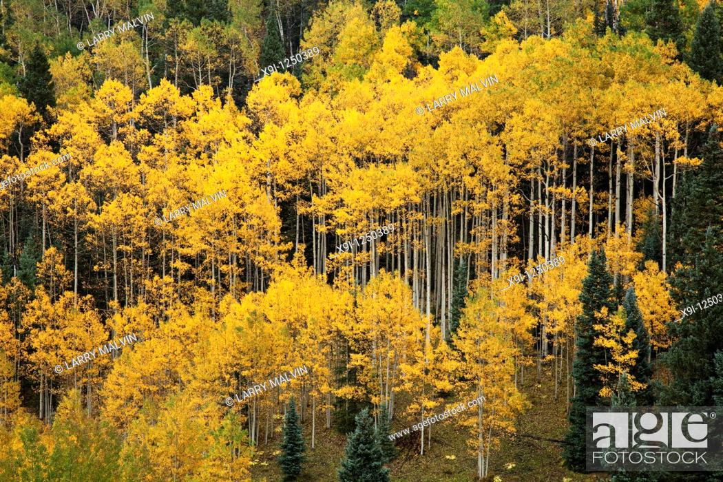 Stock Photo: Forest of golden aspens with white trunks on Wilson Mesa near Telluride, Colorado.