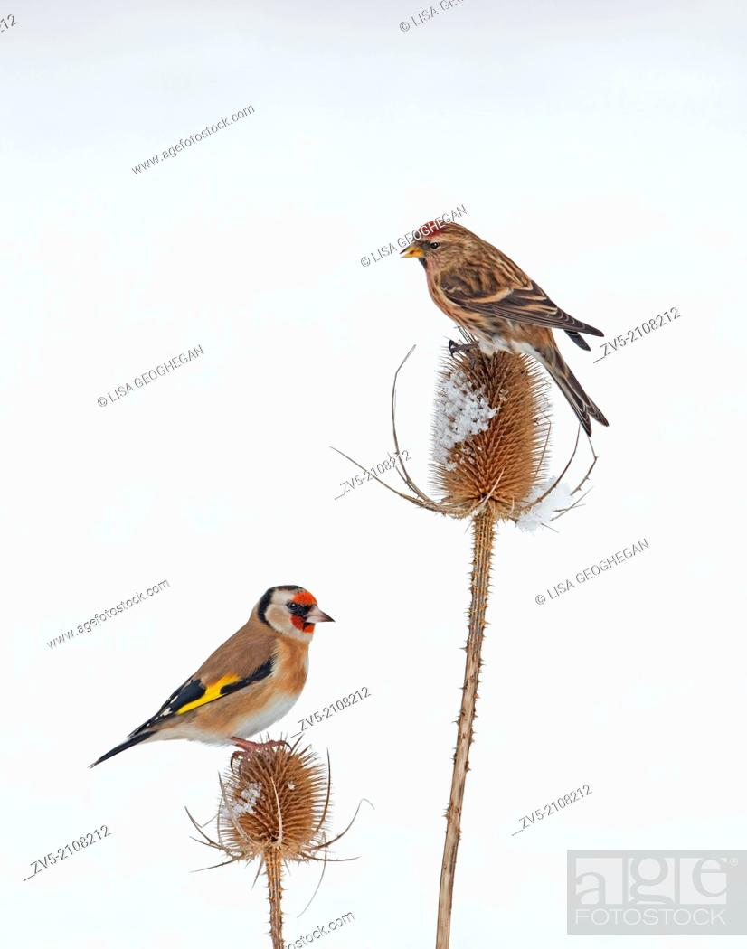 Imagen: Lesser Redpoll (Carduelis cabaret) And Goldfinch (Carduelis carduelis) On Snow Covered Teasel (Dipsacus fullonum) Winter. Uk.