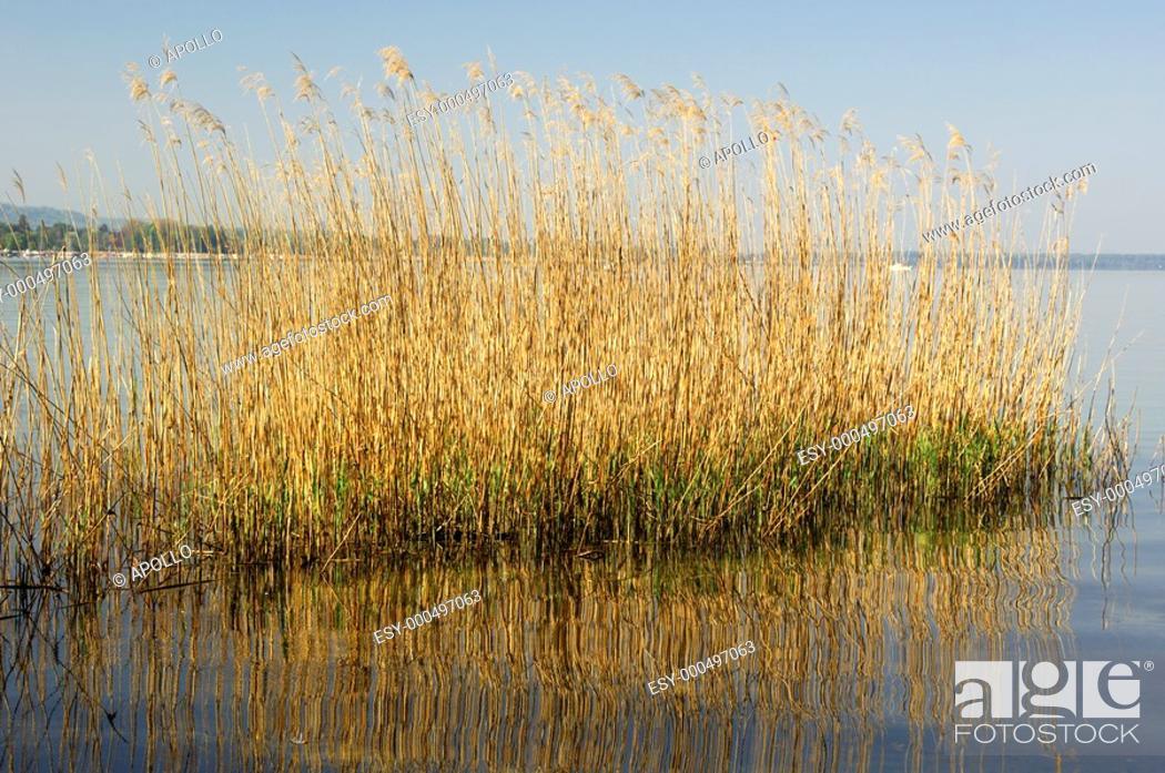 Stock Photo: Reed islet in the Lac de Morat, Murten, Morat, Switzerland.