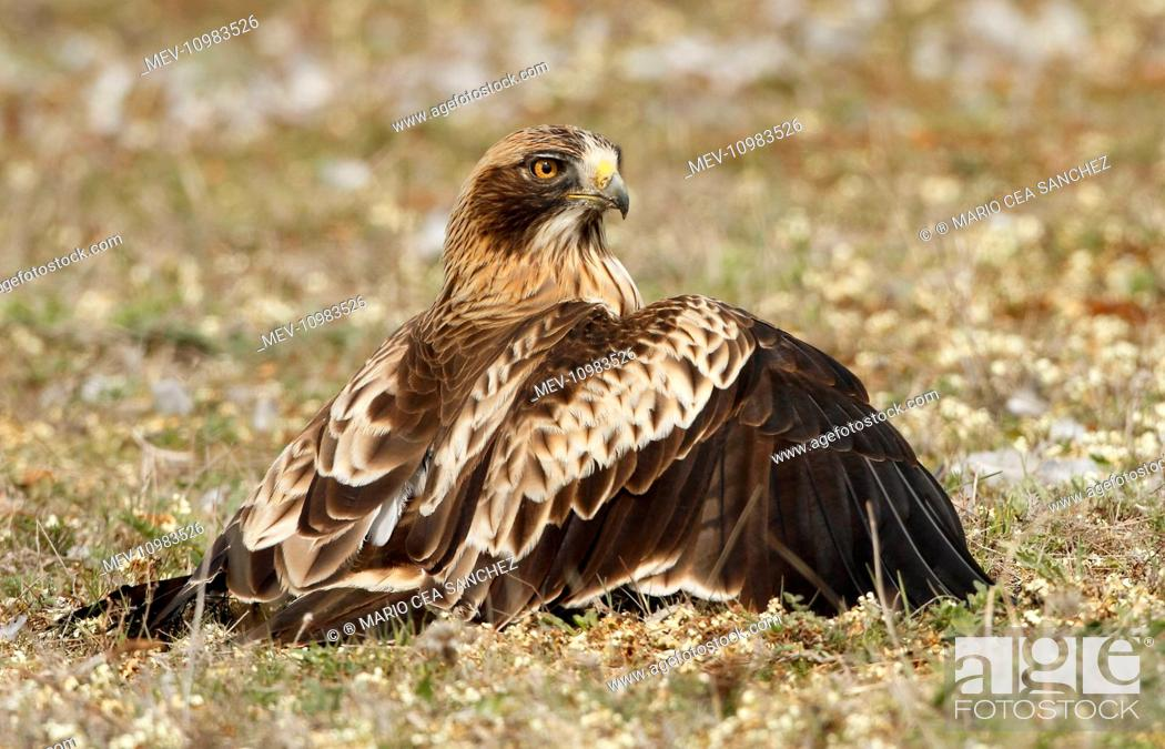 Stock Photo: Booted Eagle - an adult on the ground protecting its prey (white phase) Salamanca, Castilla y Leon, Spain (Hieraaetus pennatus).