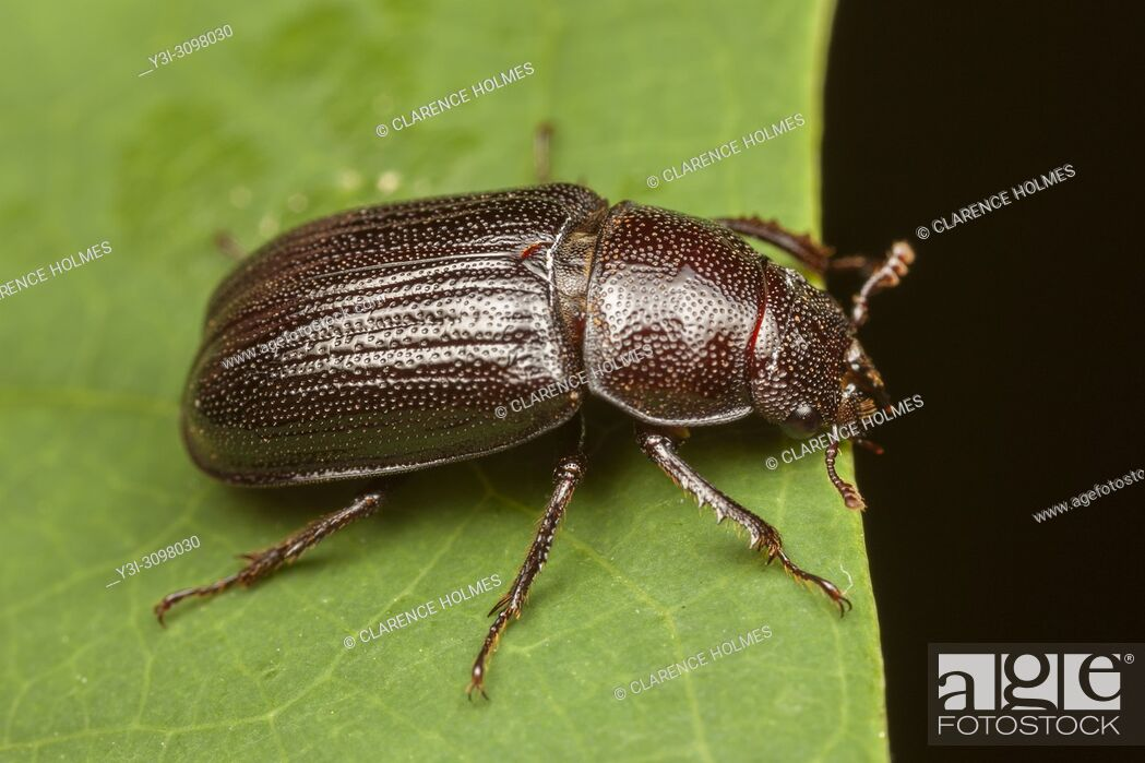 Stock Photo: A female Oak Stag Beetle (Platycerus virescens) on a leaf.
