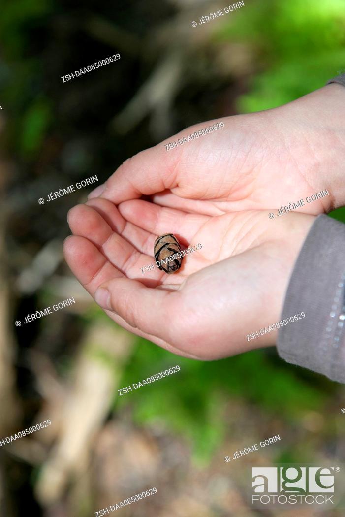 Stock Photo: Child's hands holding tiny pine cone.