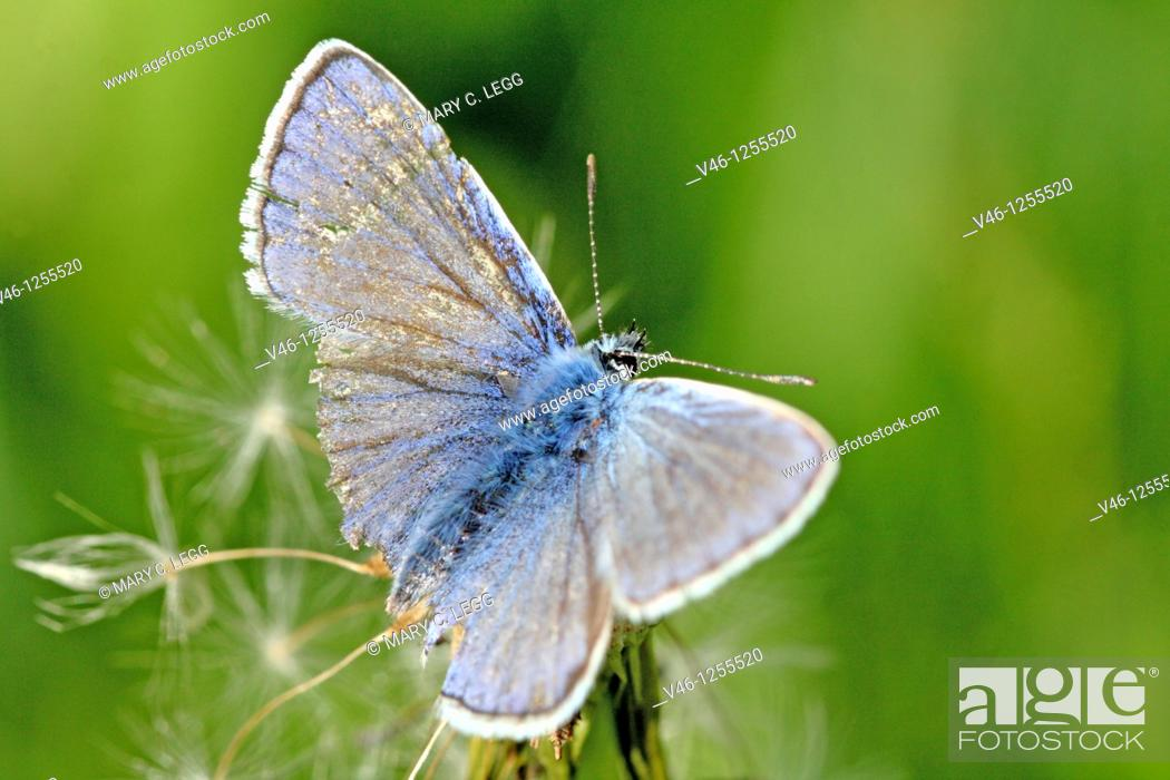 Stock Photo: Common Blue, polyommatus icarus on dandelion tufft Weed-whacker damage  Outspread wings of the Common Blue shows distinct wing damage caused by industrial.