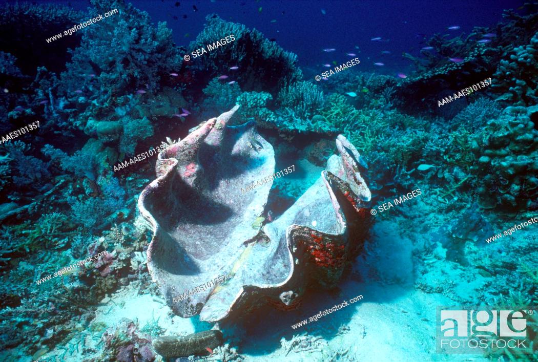 Shell Long Dead Giant Clam Tridacana On Coral Reef New Guinea