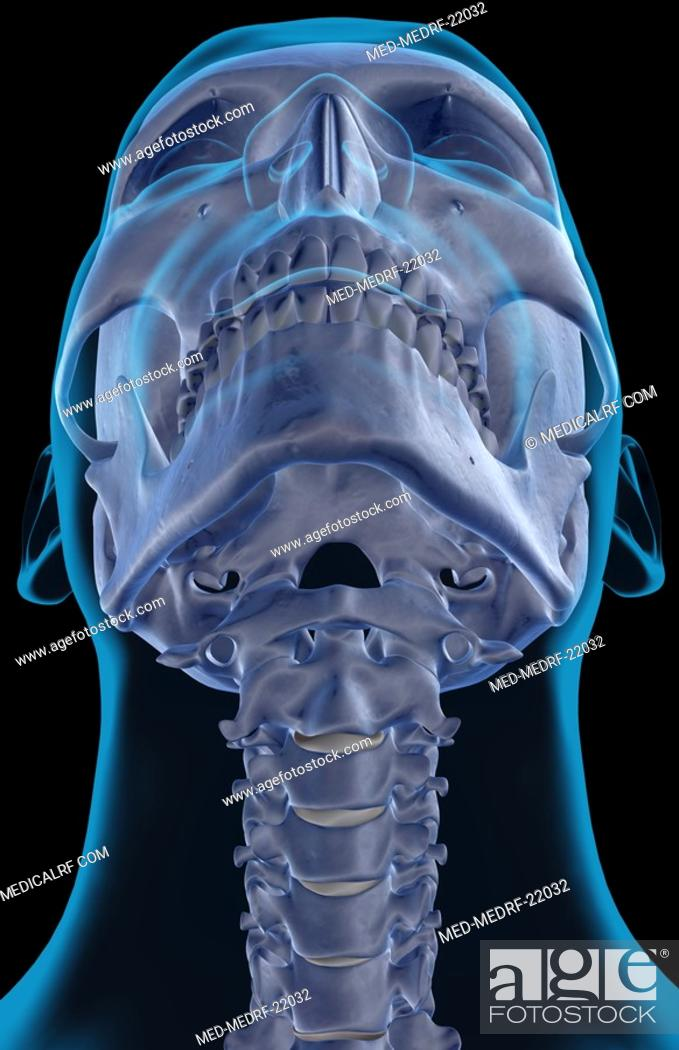 Stock Photo: The bones of the neck.