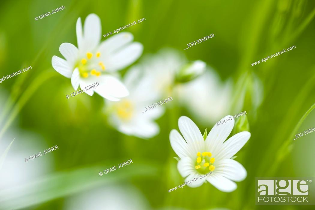 Stock Photo: Greater Stitchwort, or Addersmeat (Stellaria holostea) flowers in a woodland in the southwest of England.