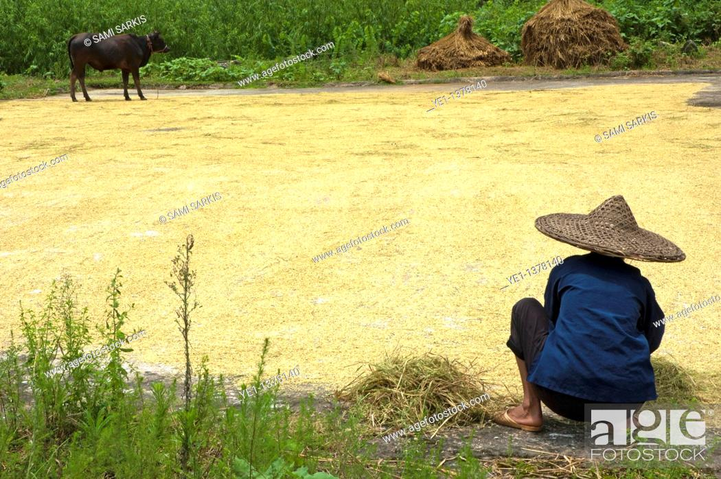 Stock Photo: Old woman checking harvested rice drying on the ground, Yangshuo, Guangxi, China.