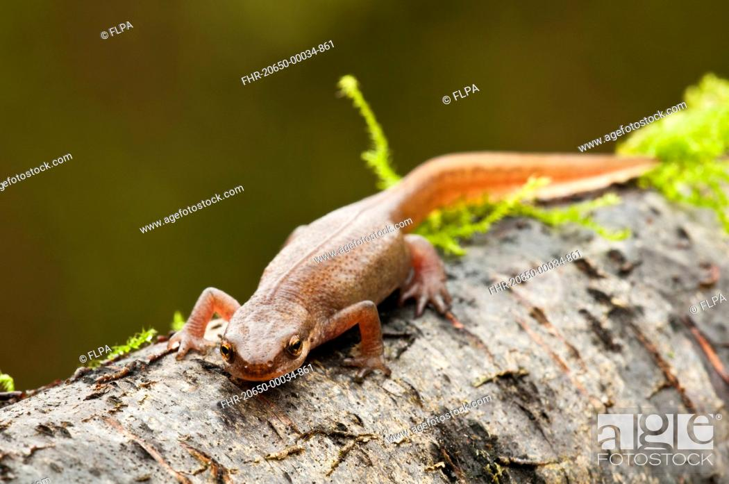 Stock Photo   Palmate Newt Triturus Helveticus Adult Female, On Log In  Garden, Belvedere, Bexley, Kent, England, March