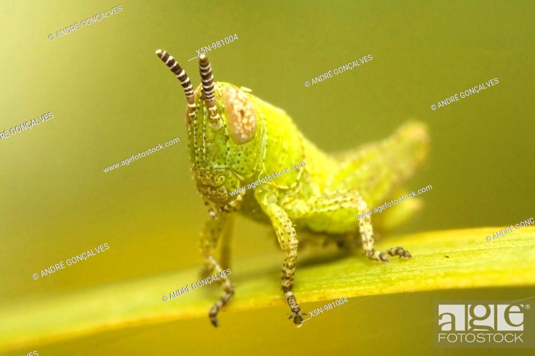 Stock Photo: Grasshopper, Portugal.