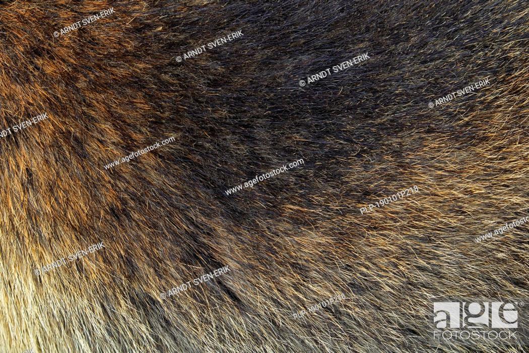 Stock Photo: Alpine marmot (Marmota marmota) close-up of brown hairs in dense summer coat / fur / pelt.