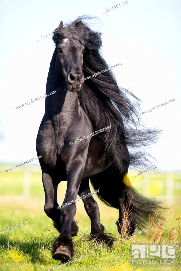 Stock Photo: Frisian Horse. Black stallion trotting on a pasture. Germany.