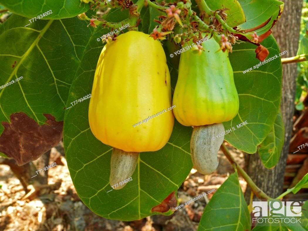 Stock Photo: Cashew apples, Anacardium occidentale, Ratnagiri, Maharashtra, India.