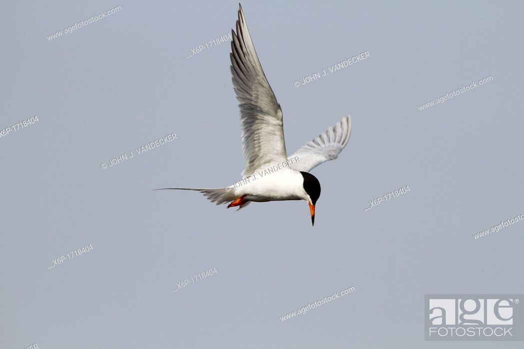 Stock Photo: A Tern in flight looking for food in a saltmarsh  The Tern is possibly a Forster's Tern or a Common Tern which are difficult to tell apart when in breeding.