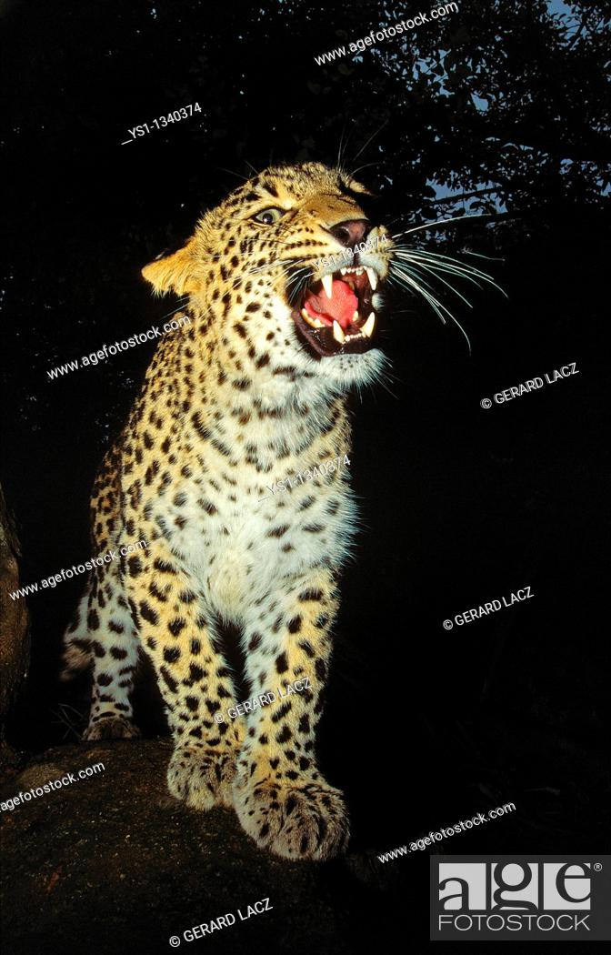 Stock Photo: LEOPARD panthera pardus, ADULT SNARLING IN THREAT POSTURE.