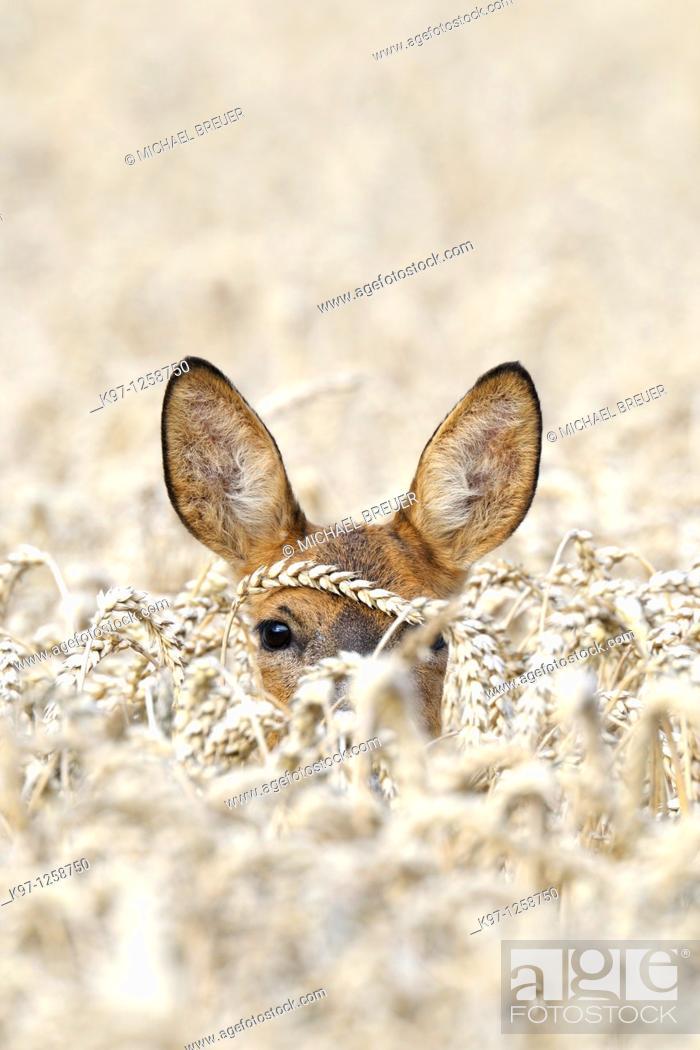 Stock Photo: Roe deer (Capreolus capreolus) in grain field, Summer, Germany, Europe.