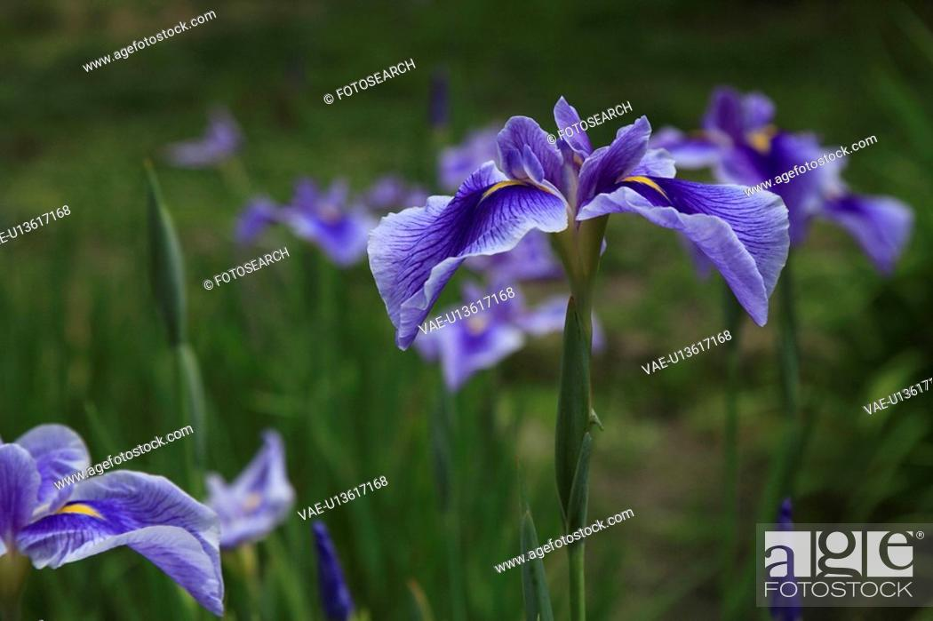 Stock Photo: Iris.