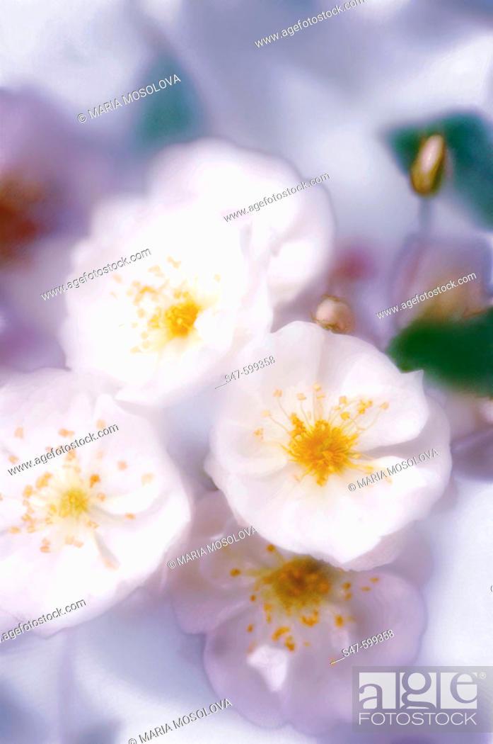 Stock Photo: White Roses (Rosa hybrid). June 2006. Maryland, USA.