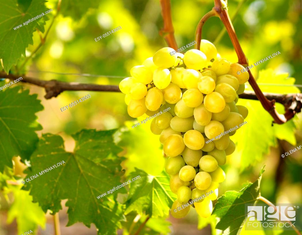 Stock Photo: Green grapes on vine.
