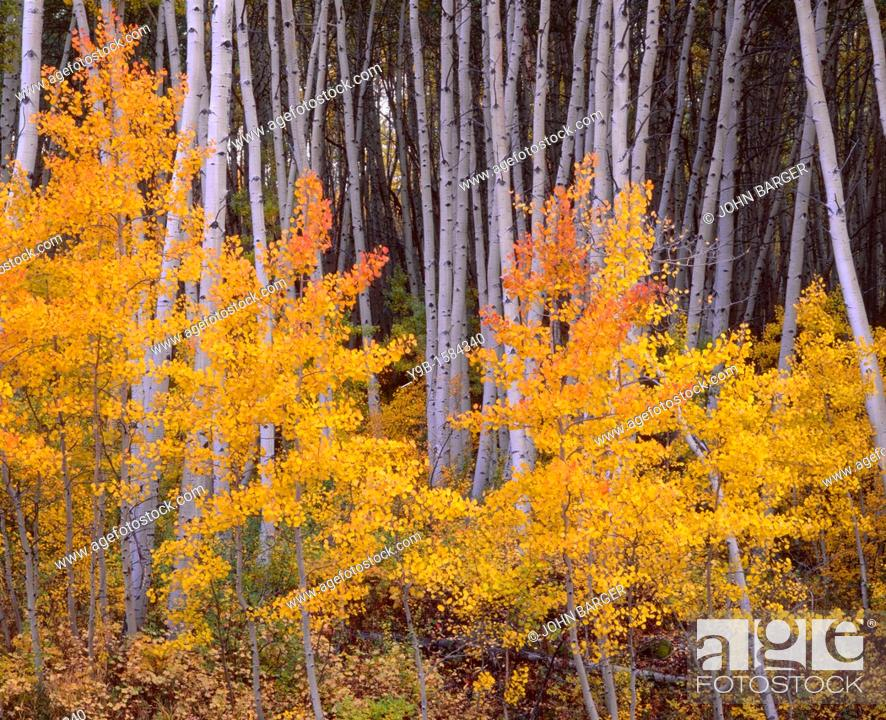 Stock Photo: Aspen grove displays fall color and white trunks, near Skyway, Grand Mesa National Forest, Colorado, USA.