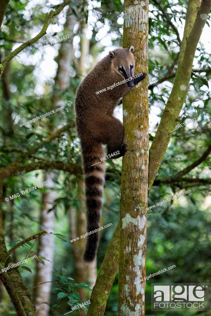 Stock Photo: Coati (Nasua or Nasuella) climbing on a tree, Iguazu National Park, Parana State, Brazil.