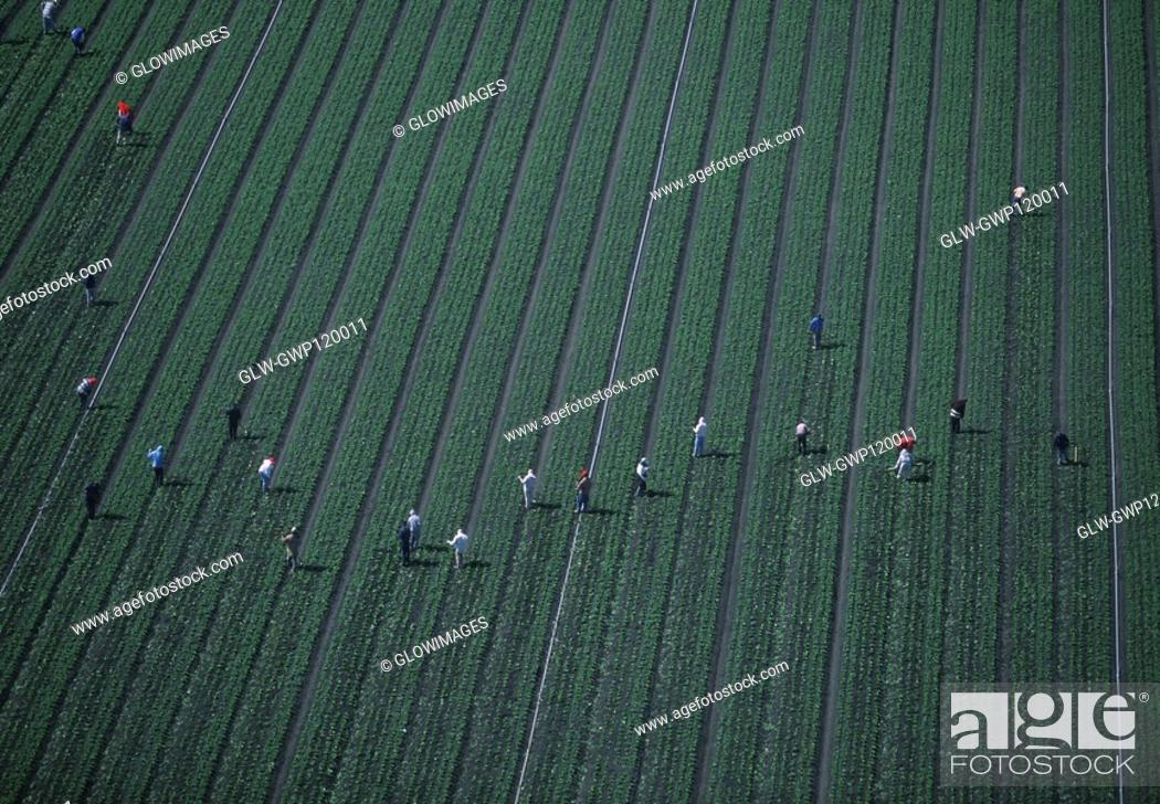 Stock Photo: Farm workers weeding a lettuce field.
