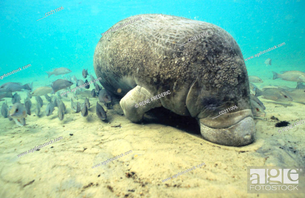 Stock Photo: Manetee (Trichechus sp.). Florida. USA.