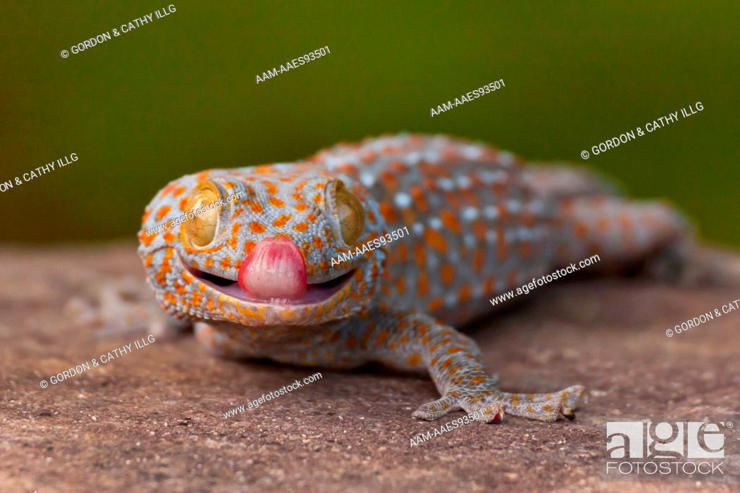 North America, USA, North Carolina. Tokay gecko (Gekko gecko), Foto ...