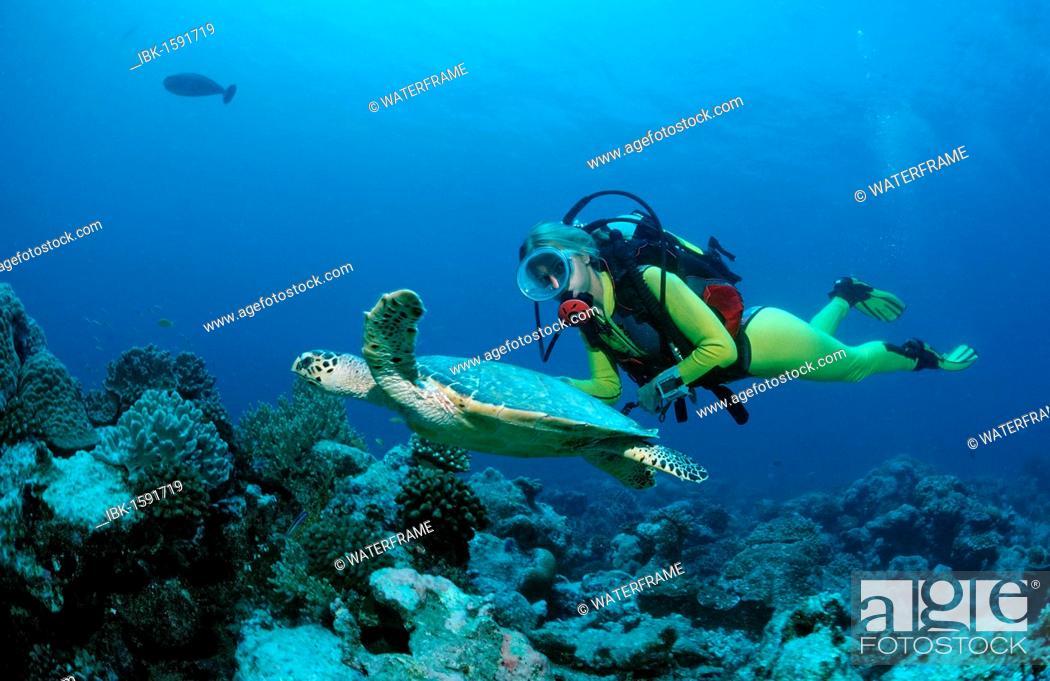 Stock Photo: Hawksbill Turtle (Eretmochelys imbricata) and a scuba diver, Maldive Islands, Indian Ocean.