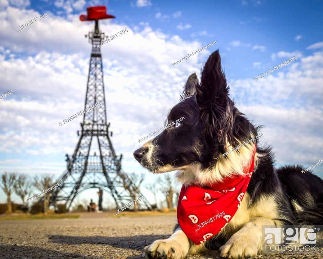 Stock Photo: Border collie dog poses in front of Paris Texas Eiffel Tower landmark, Paris, TX.