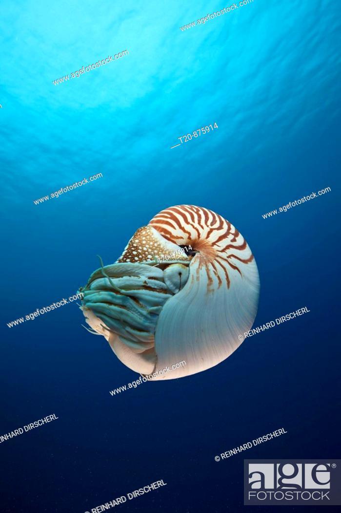 Stock Photo: Chambered Nautilus, Nautilus belauensis, Micronesia, Palau.