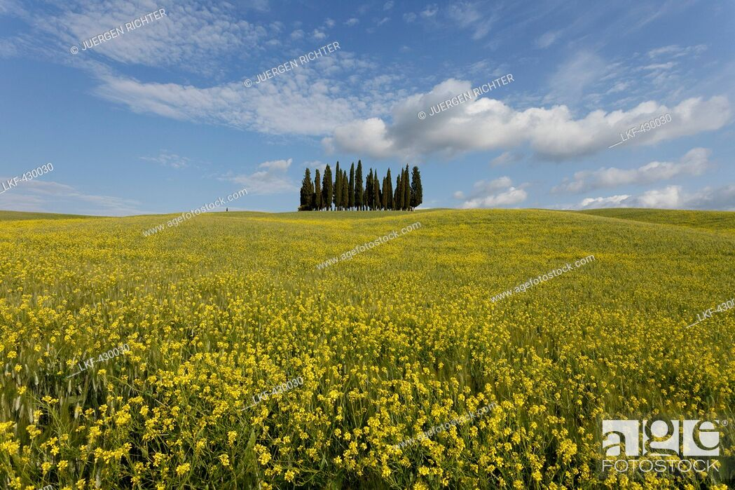 Imagen: Typical Tuscan landscape with cypress grove and yellow rape field, canola field near San Quirico d'Orcia, Val d'Orcia, Orcia valley, UNESCO World Heritage Site.