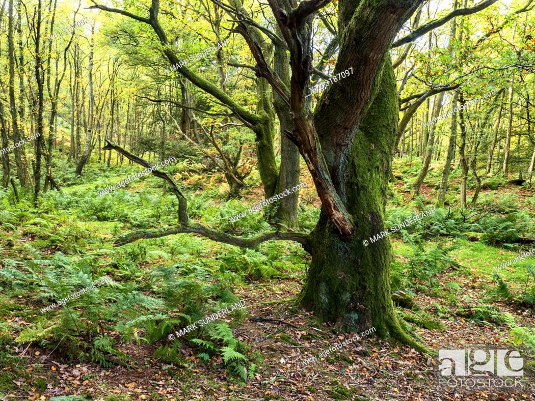 Imagen: Gnarled mossy tree in Skrikes Wood in autumn near Pateley Bridge North Yorkshire England.