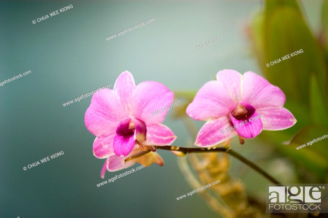 Stock Photo: Orchid Garden Kuching Sarawak Malaysia.
