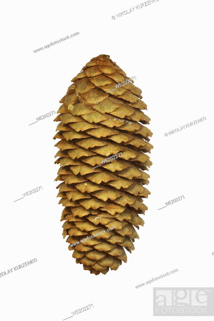 Imagen: Cone of Dragon spruce (Picea asperata).