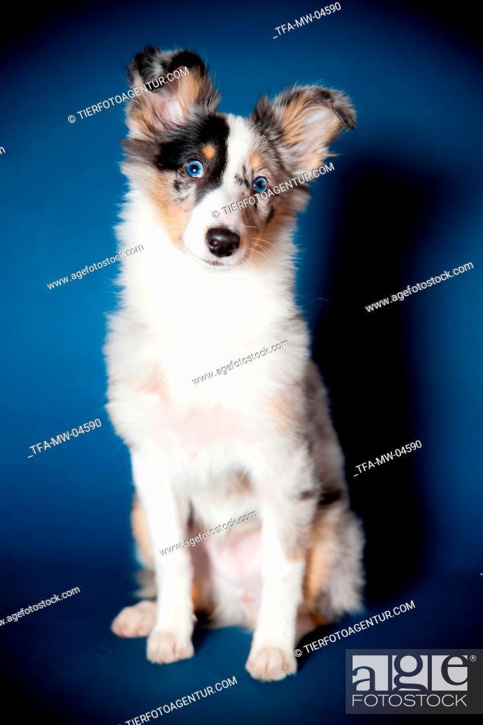 Stock Photo: young Shetland Sheepdog.