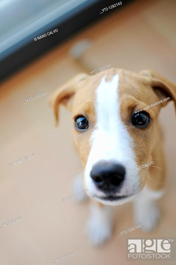 Stock Photo: Portrait of Ronnie, a cute 3 months old puppy.