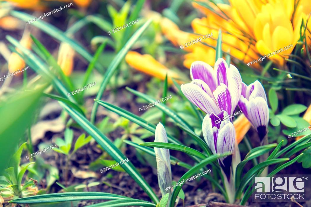 Stock Photo: Beautiful spring violet white and yellow flowers crocuses on bokeh background in sunny spring forest under sunbeams. Holidays Easter, valentine.
