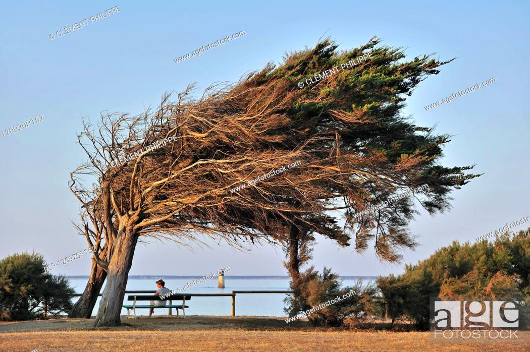 Stock Photo: Windswept trees bent by coastal northern winds on the island Ile d'Oléron, Charente-Maritime, France.
