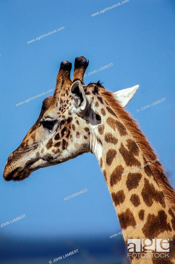 Stock Photo: africa, tanzania, giraffe head.