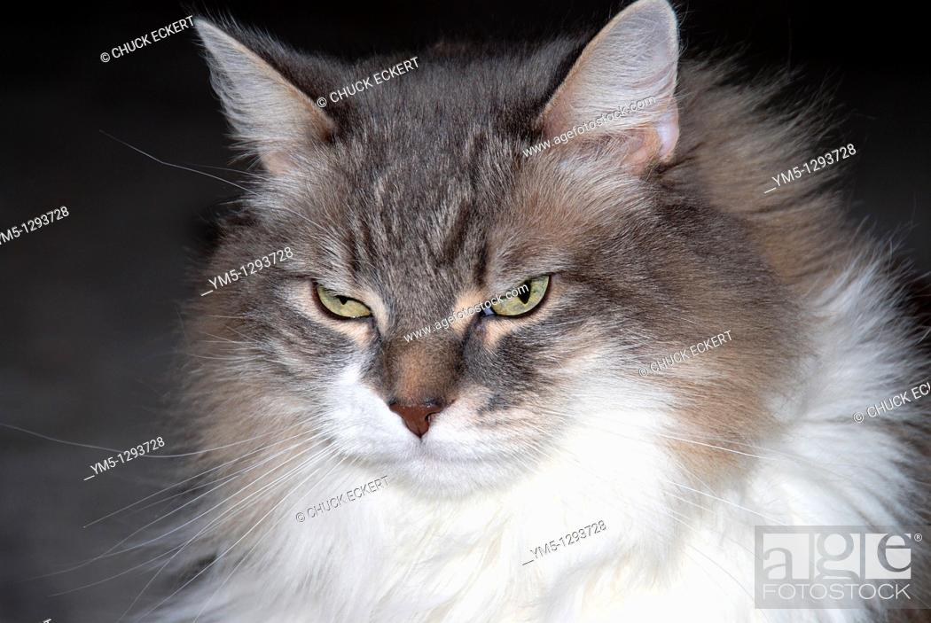Stock Photo: Gray and white long haired domestic cat.
