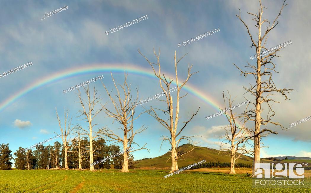 Stock Photo: Rainbow over dead trees, Cheviot, North Canterbury.
