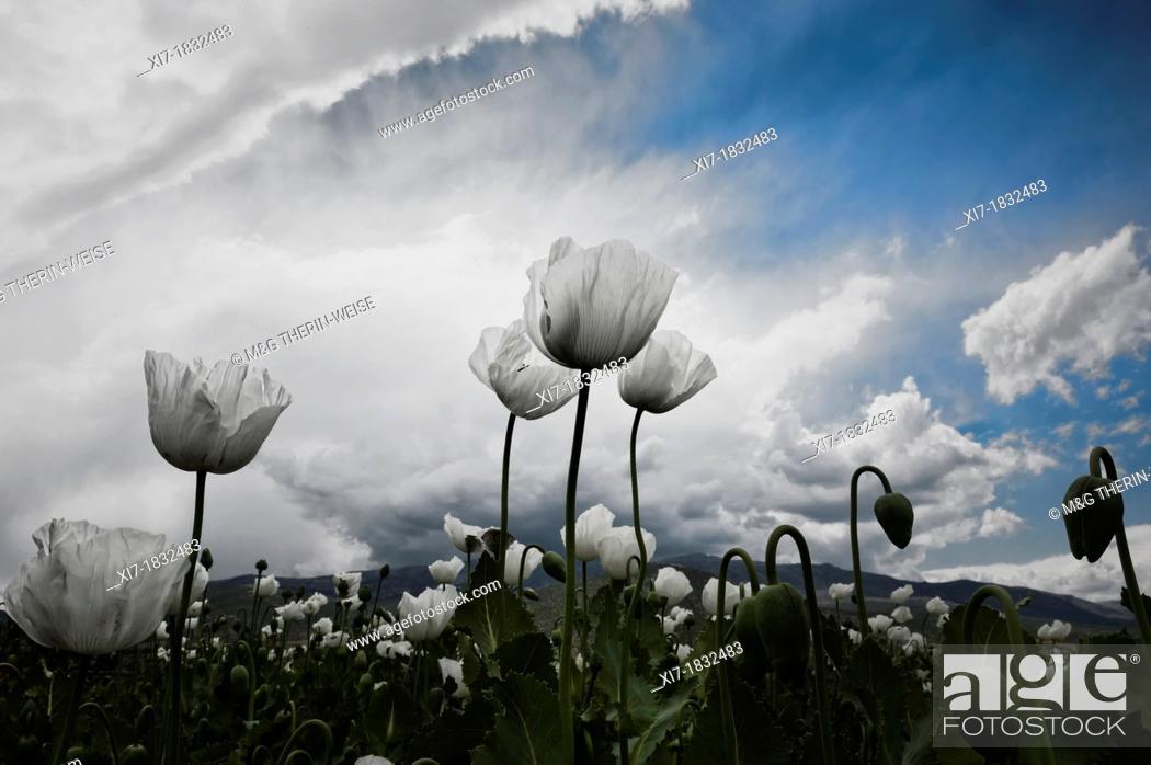 Stock Photo: Opium poppy field, Papaver somniferum, Turkey.