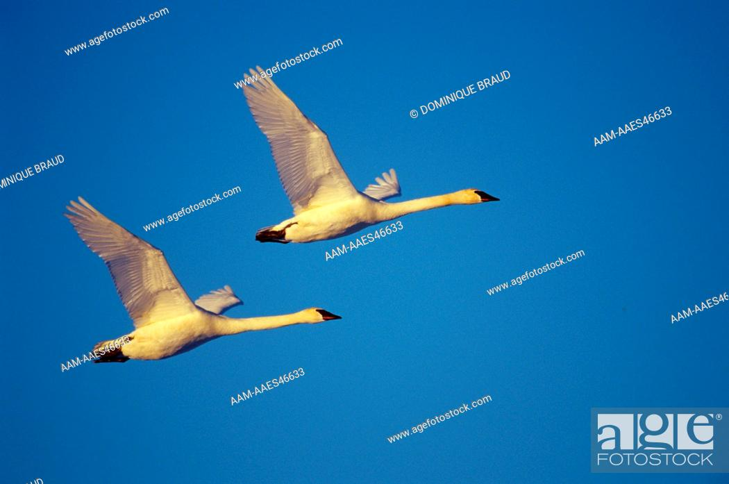 Stock Photo: Trumpeter Swans coming in for landing at dusk (Cygnus buccinator) Wright Cty, MN.