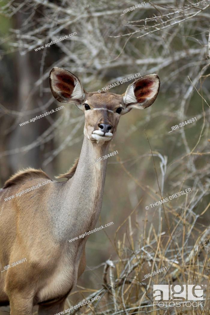 Stock Photo: Greater Kudu (Tragelaphus strepsiceros), female, Kruger National Park, South Africa.